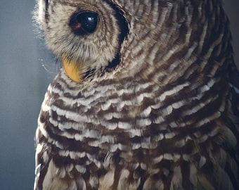 Barred Owl -- Wildlife Photography / Nature Photo / Fine Art Print / Animal Picture