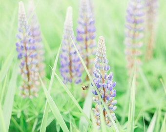 Flower Photography - Lupine Photograph - Flowers - Lupines - Bee - Gift for Her - Fine Art Photography Print - White Purple Home Decor