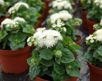 Ageratum Mexican White from Ukraine#796