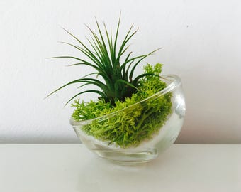 Air plant - glass terrarium - tillandsia - air plant