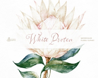 White Protea. Watercolor Flowers and Frame, botanical art, king protea, blossom, leaves, vintage, wedding invitation, delicate, diy, outline