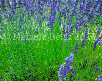 Gorgeous, fragrant lavender fields of Goudargues, France