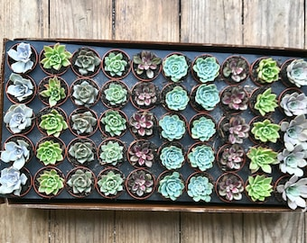 25 - Succulent - Rosettes Only -