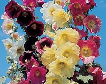 RARE!! 11 Foot Tall  Giant  DANISH HOLLYHOCK Flower  Seeds Mix 50+