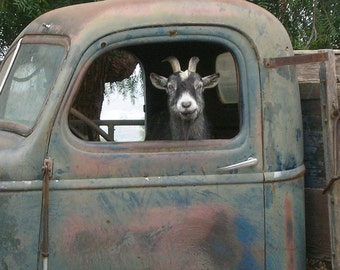 Truck Driver Goat, Photo on 8x8 wood block.