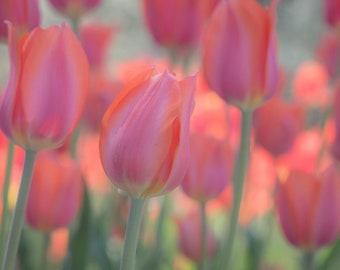Tulip Photograph, Botanical Wall Art