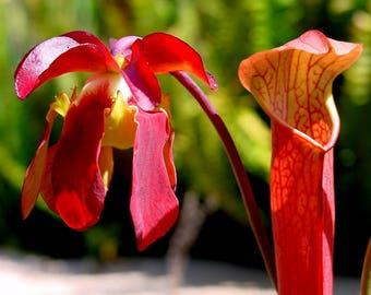 10 SWEET PITCHER PLANT Carnivorous Sarracenia Gronovii Rubra Red Flower Seeds