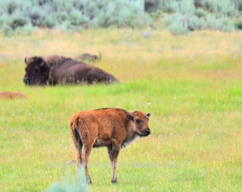 Bison Baby Photo, Woodland, Buffalo Baby, Wildlife Photography, Fine Art Photography