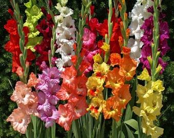 Easy to Grow Gladiolus Bulbs-- End of season Bulb Clearance!