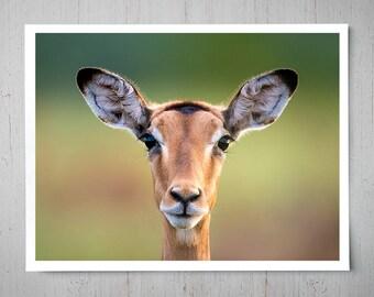 Impala Face - Animal Photography, Africa Safari Archival Giclee Print, Wildlife Photo - Multiple Sizes Available