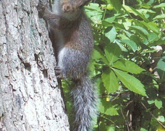 ACEO SFA Baby Squirrel on tree art photograph cute nature photo nitelvr