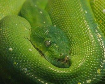 Green Tree Python Coil
