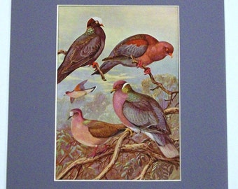 BAND-TAILED PIGEONS and Other Forest Dwellers -  1926 Vintage Matted Print