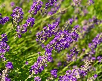 Les Fleurs #47 Lavender Photograph