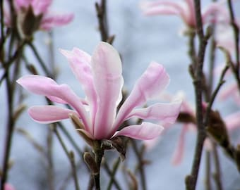Dream - Nature Photograph - Star Magnolia Blossom - 4x6, 5x7, 8x10, 11x14, 16x20