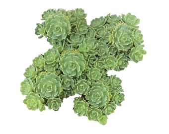 White Diamond Succulents Sedum pachyclados Wedding Favor Succulent 'White Diamond' Little Rosette Forming Stonecrop Green Potted Succulents
