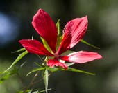 Star of Texas - Hibiscus ...