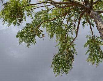 10 ML   Boswellia Serrata oil , Frankincense Essential Oil