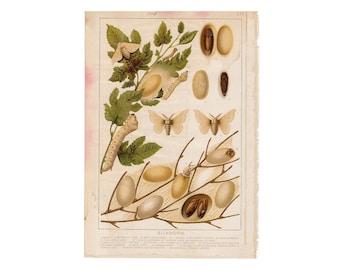 v. 1910 SILKWORM LITHOGRAPH original vintage bug print - plant crop disease