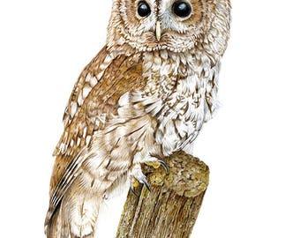 Tawny Owl Bird -  Original drawing by Gayle Mason