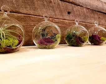 Air Plant Terrarium/Hanging Terrarium/Air Plant/Tillandsia Air Plant with Moss/Glass Terrarium with Air Plant