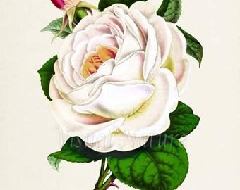 Rosa Indica Rose Flower Art Print, Botanical Art Print, Flower Wall Art, Flower Print, Floral Print, White Rose
