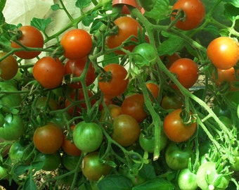 Tomato - Riesentraube - Grape - Heirloom - German - 20 Seeds - Great for Preppers
