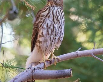 Bird Photography, Cooper's Hawk photo, wildlife art, woodland animal lover gift, nature photography, fine art print