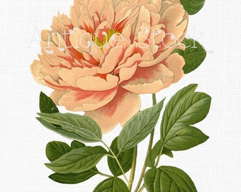 Flower Clip Art 'Moutan Peony' Botanical Illustration Download Image for Wedding Invitations, Scrapbook, Wall Art, Collages, Crafts...