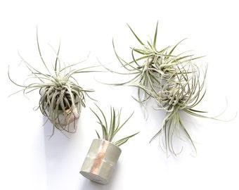 Oaxacana Air Plant, Tillandsia, snowflake like Air Plants, living plant, floating plant, soil free house plant, indoor garden gift idea