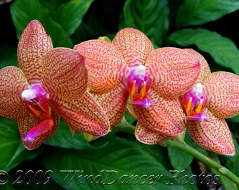 Orchids, Orchid Photo, Flower Photography, Fine Art Photo, Red, Orange, Magenta, Green, Art for Walls, Gift for Her, Nature Photography