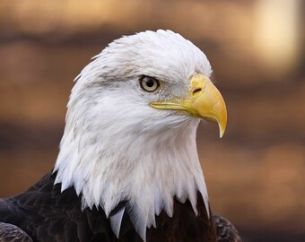 Bald Eagle, bird, animal, photo, print, art, photography, home decor, wall art, nature photography, free shipping, metal, wildlife