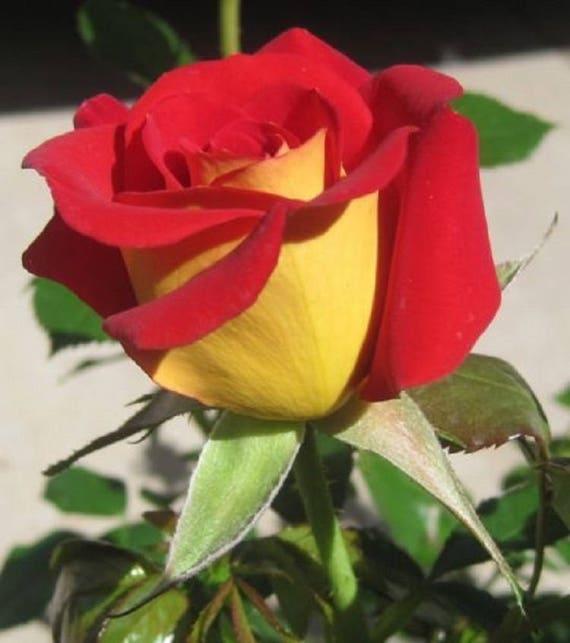 Rare yellow red tips rose seeds flower bush perennial shrub mightylinksfo