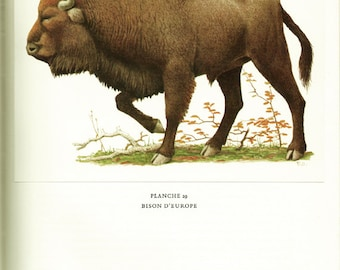 Buffalo print 1970 VIntage animal art buffalo poster cattle art buffalo art Wildlife poster Wildlife art buffalo gift bison mammal