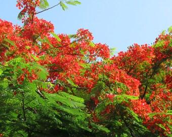 Delonix Regia, Royal Poinciana, Flame tree, Flamboyant, 50 organic seeds, tropical tree seeds, exotic tree seeds