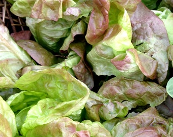 Merveille de Quatre Saisons, Marvel of Four Seasons, Heirloom Lettuce Seeds, Head Lettuce Great for Container Gardens, Non GMO Seeds