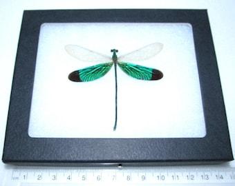 Real framed green dragonfly Neurobasis chinensis