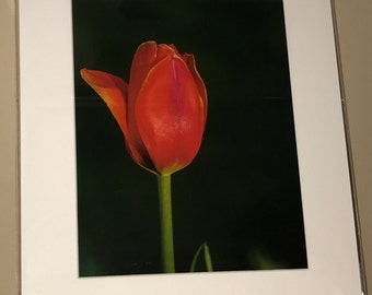 Tulip Red Lone Red Flower Bokeh Wall Art Wall Décor Fine Art  Home Décor Photo Picture