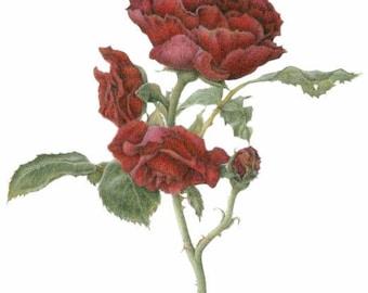 Rosa 'Cadenza' aka 'Annie's Red', 11 x 14 botanical print, colored pencil