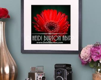 Photographic Art Print of Red Gerbera Daisy. Flower wall art, poster print, choose your size.