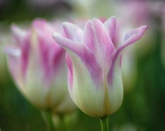 Washington Tulips
