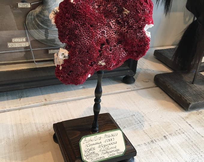 Red coral on wood base, antique museum style