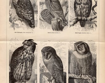 Antique engraving of owls from 1893
