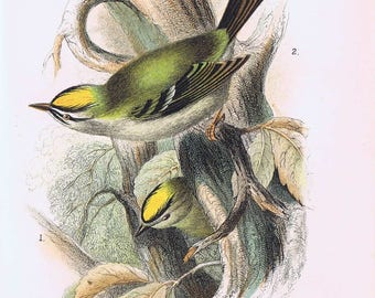 antique print Kinglets: 1. GoldCrest. 2. Fire-Crest 1897