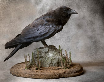 Taxidermy Raven on a rock