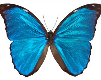 Real Blue Morpho Butterfly, Morpho menelaus, Spread or Laminated or Unmounted