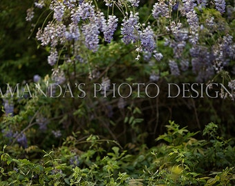 Wisteria Digital Background