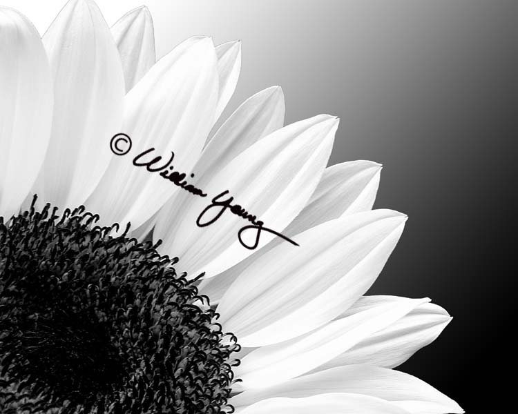 Sunflower In Black White Photo