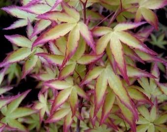 Hanami Nishiki Japanese Maple. 1 - Year Live Plant