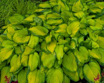 HOSTA 'STAINED GLASS'.  Perennial.  Plant.